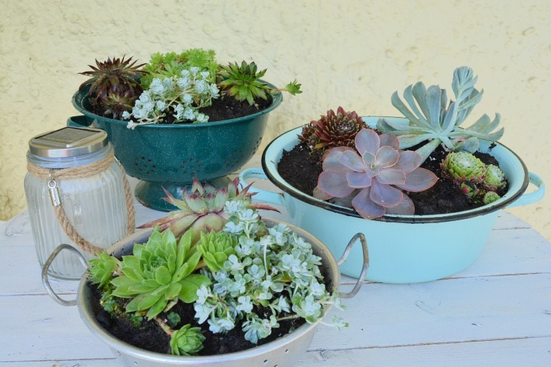 Succulents in vintage colanders and mixing bowl